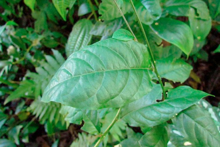 Imagem da planta guiné