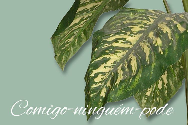 Folhas da planta comigo-ninguém-pode. Nome da planta escrito no canto inferior da imagem.