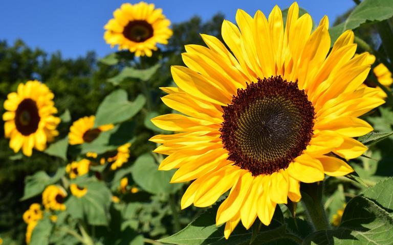 O girassol é um tipo de planta muito influenciada pelo Sol