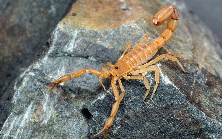 Conheça os possíveis significados de sonhar com escorpião