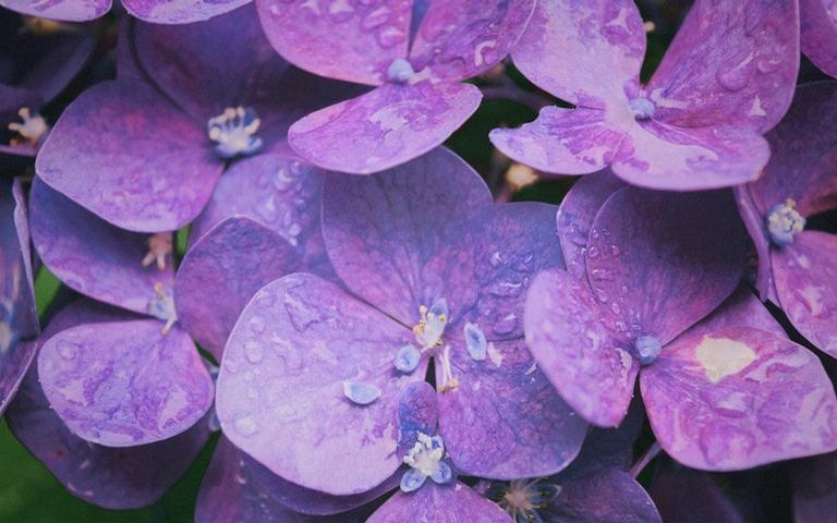 Use flores de violeta para atrair sucesso para o seu lar
