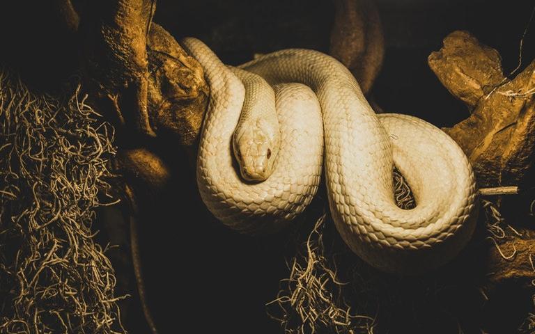 Veja como a cobra é vista por diferentes culturas e religiões